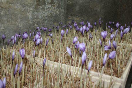 فیلم/ کاشت زعفران گلخانه ای در رامهرمز